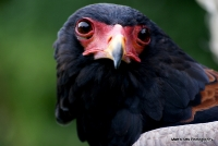 Bateleur Eagles
