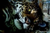 bigcats_10