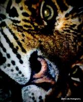 bigcats_11
