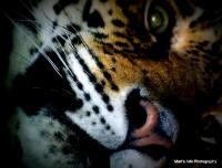 bigcats_12