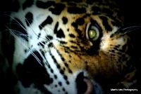 bigcats_6
