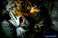 bigcats_9
