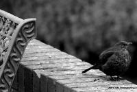 blackbirds_1