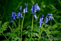 bluebells_12