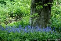 bluebells_17