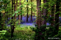 bluebells_21
