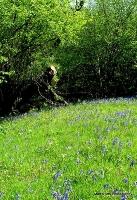 bluebells_2