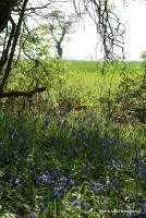 bluebells_5