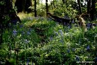 bluebells_6