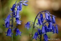 bluebells_7