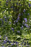 bluebells_8