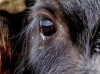 buffalo_8