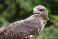 buzzards_12