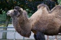 camels_3