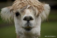 camels_4
