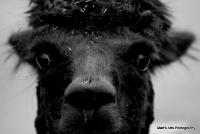 camels_6