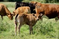cows_6