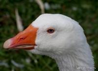 fowl_5