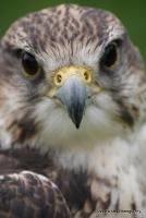 falcons_26
