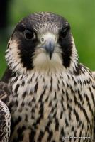 falcons_2