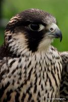 falcons_3