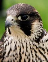 falcons_4