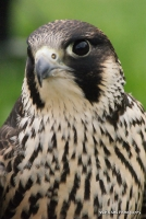 falcons_5