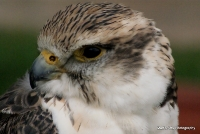 falcons_6