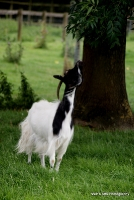 goats_1
