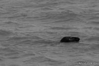 Grey Seals '15