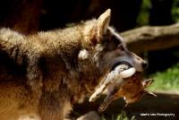 Grey Wolves.
