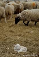 lambs_12