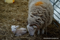 lambs_13