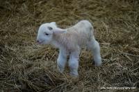 lambs_14