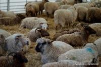 lambs_17
