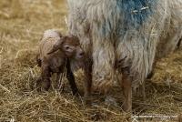 lambs_18