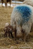 lambs_19