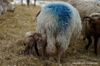 lambs_20