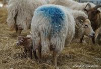 lambs_21