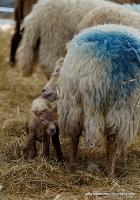lambs_22