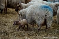lambs_23