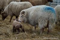 lambs_25