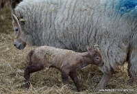 Lambing At Wimpole