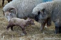 lambs_3