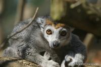 lemurs_10