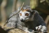 lemurs_12