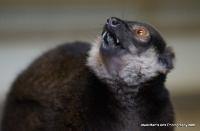 lemurs_13