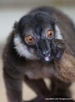 lemurs_14