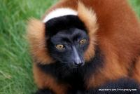 lemurs_3