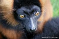 lemurs_4